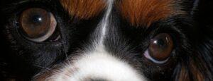 cavalier eyes