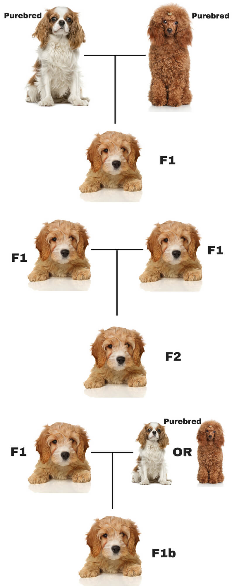 F1 F2 F1b What Do These Mean Cavapoo Love