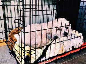 best wire crate for cavapoos