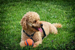Best toys for Cavapoos