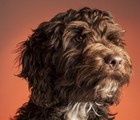 Cavapoo vs Cockapoo: Important differences explained