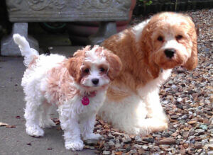 Cavapoo pup and mother