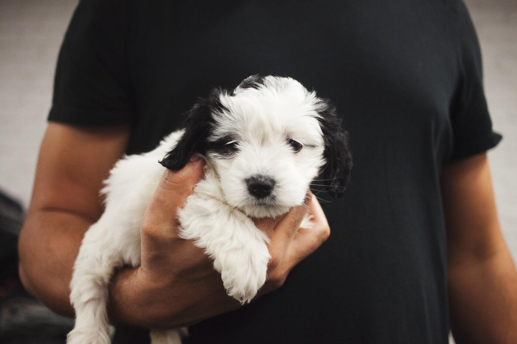 Cavapoo puppy mill