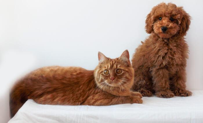 Cavapoo and cat