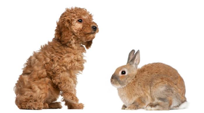 Cavapoo and rabbit