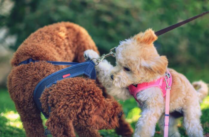 Cavapoo puppy intro