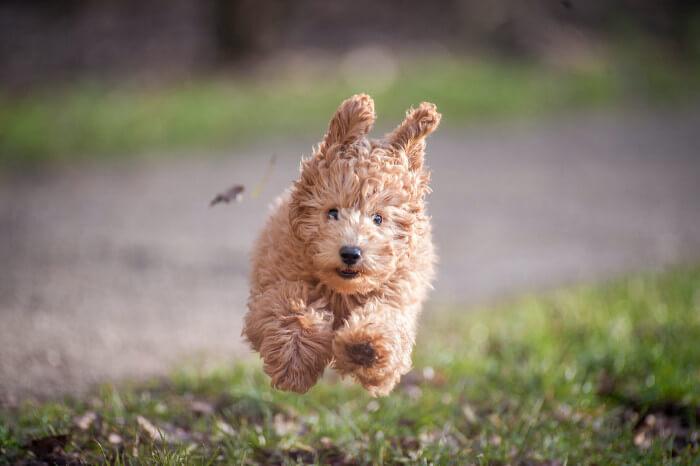 Cavapoo running