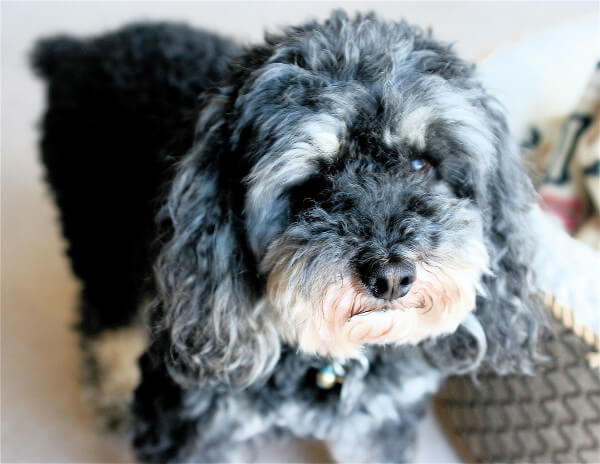 Cavapoo with separation issues